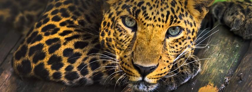 africa safari - tiger