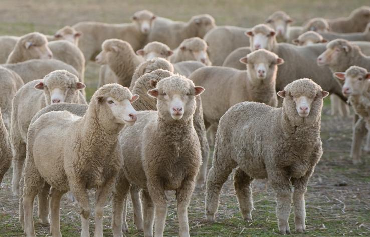 sheep shearing, shearing shed