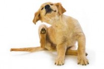 coconut oil for dog itchy skin